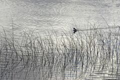 Cute duck swimming in a lake behind tall grass branches