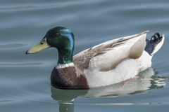 Duck swimming on lake. Cute duck swimming on lake Royalty Free Stock Photo