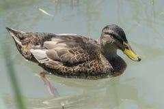 Duck swimming on lake. Cute duck swimming on lake Stock Photos