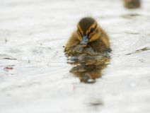 Cute Duckling Stock Image