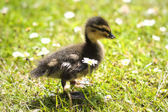 Cute Duckling Royalty Free Stock Image