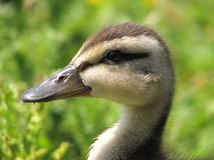 Cute duckling. Portrait of mallard duckling head with green background Royalty Free Stock Photo