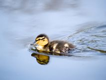 Cute duckling. Little yellow/black duckling swimming in the pond Stock Photo