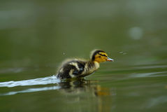 Free Cute Duckling Royalty Free Stock Images - 5110149
