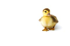 Free Cute Duckling Isolated On White Royalty Free Stock Images - 15083299