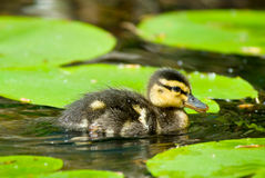 Cute duckling in spring Royalty Free Stock Photography