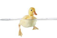 Cute duckling swimming Royalty Free Stock Photography