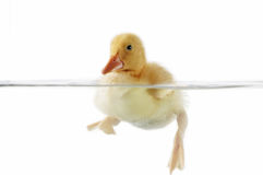 Cute duckling swimming Royalty Free Stock Images