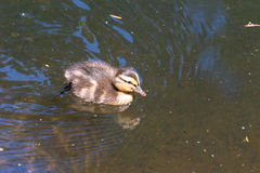 Cute duckling. A cute duckling swimming alone Stock Images