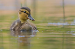 Cute duckling Stock Photos