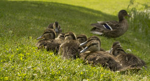 Cute ducklings. On summer grass in front of their mother duck Royalty Free Stock Image