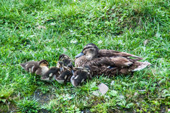 Cute ducklings ant their mother. Young ducklings cuddling around their mother stock photography
