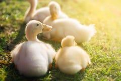 Cute ducklings Stock Photo
