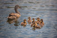 Cute duck family swimming together. Cute ducklings following mother,duck babies,symbolic figurative harmonic peaceful animal family, close-up portrait, following royalty free stock images