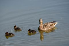 Cute ducklings following mother in a queue on the lake. Symbolic figurative harmonic peaceful animal family portrait royalty free stock image