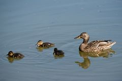 Cute ducklings following mother in a queue on the lake. Symbolic figurative harmonic peaceful animal family portrait royalty free stock images