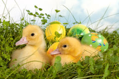 Cute ducklings in grass Royalty Free Stock Photos