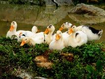 Cute ducklings Stock Photos