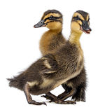 Cute ducklings Royalty Free Stock Photos