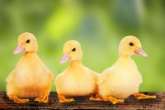 Cute  ducklings Stock Images