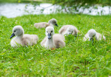 Cute ducklings outdoors Stock Image