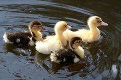 Cute Ducklings Swimming. Cute yellow and black ducklings swimming on a pond Royalty Free Stock Photo