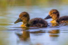 Cute ducklings swimming and looking surprised in the camera. Cute and surprised looking ducklings swimming in pond of spring park background in the Netherlands Stock Images