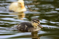 Cute ducklings at water edge. Cute striped ducklings at water edge Stock Images