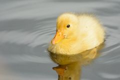 Cute ducklings at water edge. Cute yellow ducklings at water edge Royalty Free Stock Photos
