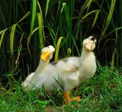 Cute ducks Stock Photography