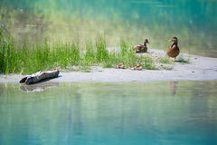 Cute ducks with baby at blue lake with grass and wood Stock Photos