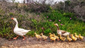 Cute ducks family. In South african village royalty free stock photography