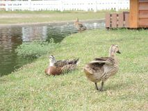 Cute ducks Stock Photo