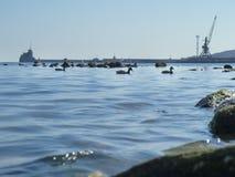 Cute ducks, seagulls on Black sea Stock Images