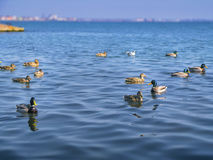 Cute ducks and the seagulls on the sea Royalty Free Stock Image