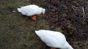 Cute ducks  trying to find food Stock Photos