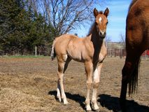 Cute dun filly. In early spring Stock Images