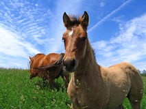 Cute dun filly. In early summer Royalty Free Stock Photo