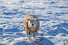 Cute Dutch sheep on snow. Pasture in winter Stock Images