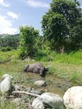 Cute dwarf buffalo cooling itself in a creek stock image
