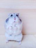Cute Dwarf Hamster Royalty Free Stock Image