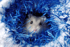 Cute Dwarf Hamster Stock Image