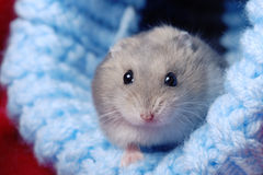 Cute Dwarf Hamster Stock Photo