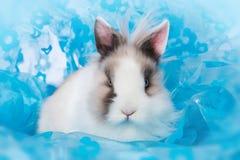 Free Cute Dwarf Rabbit Royalty Free Stock Image - 209614896