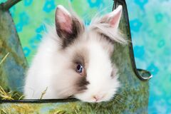 Free Cute Dwarf Rabbit In A Metal Basket Stock Photos - 209615203