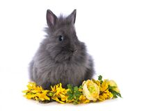 Free Cute Dwarf Rabbit With Flower Wreath Royalty Free Stock Images - 209615709