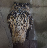 Cute eagle owl Royalty Free Stock Photography