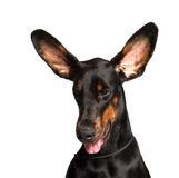 Cute ears of dobermann dog Royalty Free Stock Photos