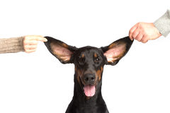 Cute ears of dobermann dog Royalty Free Stock Photo