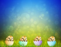 Cute Easter baby Chicks Royalty Free Stock Photo
